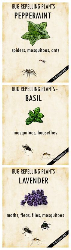 PLANTS THAT KEEP BUGS AWAY Worried how to repel mosquitoes and houseflies naturally? Simply get your garden area some pots of basil, and you are done. It belongs to the family of powerful, pungent herbs that can perfect companions to keep the bugs away. Diy Garden, Garden Landscaping, Herb Garden, Summer Garden, Dream Garden, Garden Urns, Garden Benches, Garden Fencing, Organic Gardening