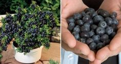 Blauwe bessen zijn ontzettend gezond en hebben een heerlijke smaak. Ze hebben een beschermende werking op de hersenen wantze voorkomen vergeetachtigheid omdat ze rijk zijn aan antioxidanten. Ze zijn…