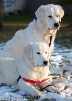 Two Gorgeous offspring from Alaska's Retrievers <3