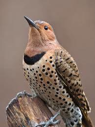 Northern Flicker Great Backyard Bird Count   National Audubon Society Birds birds.audubon.org -
