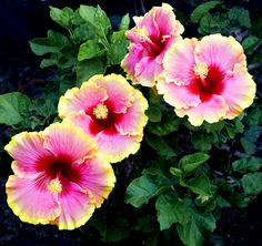 Exotic Hibiscus 'Simple Pleasures.'  Flowers are 7-9 inches across.  Tropical hibiscus.  Ship as potted plants.
