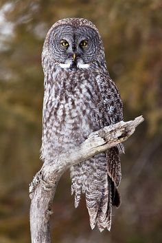 Great Gray Owl!! Love this bird!!!
