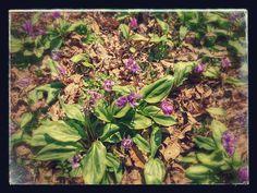 Dogtooth violet