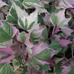 Ipomoea batatas, Ornamental Sweet Potato Vine 'Tricolor' / 'Pink Frost' Perennial zones Full sun to part shade. Shade Flowers, Types Of Flowers, Colorful Plants, Colorful Garden, Container Plants, Container Gardening, Garden Plants, House Plants, Plant Guide