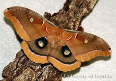 Figure 1. Adult male polyphemus moth, Antheraea polyphemus (Cramer ...