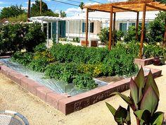 Las Vegas Gardening   Tomato Plants