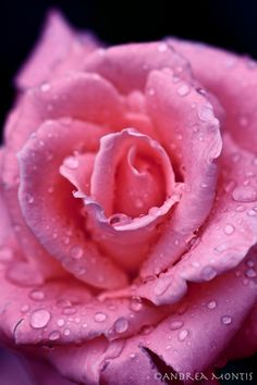 The simple beauty of raindrops on a perfect pink rose. Love Rose, My Flower, Pretty Flowers, Pink Flowers, Taylor Kitsch, Coming Up Roses, Hybrid Tea Roses, Colorful Roses, Beautiful Roses
