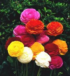 I fell in love with the ranunculus flower when I was researching wedding flowers.  I'd love to grow some myself and plan to try next spring.