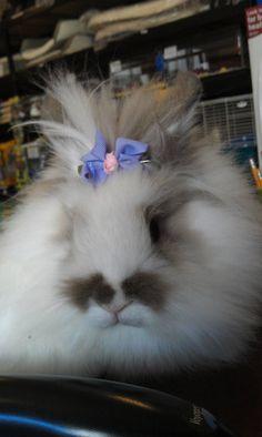 Lionhead bunny