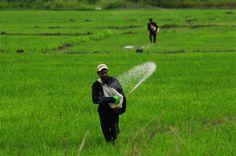 Abono en siembra de arroz, Estado Portuguesa, Venezuela
