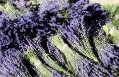 Dried French Lavender Bunch, Set Of 3 from decor steals