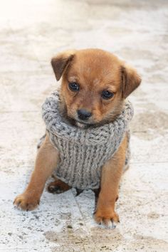 Is your puppy small? Does your dog need an xxs sweater? Then make your  puppy happy with an easy knit, free puppy sweater pattern. This sweater is  an easy project to knit, taking about an hour. Using 9mm needles and chunky  yarn, your puppy will love his warm knitted sweater.
