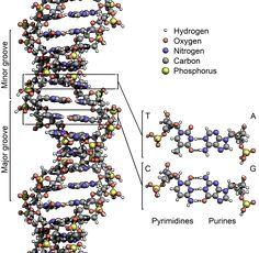 deoxyribonucleic acid - Google Search
