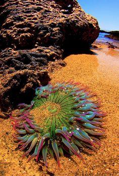 Rainbow Anemone.