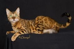 Boyds Bengals of Savannah - Bengal Breed