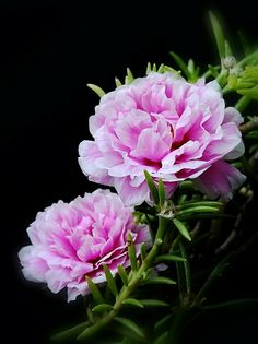All Flowers, Exotic Flowers, Beautiful Flowers, Portulaca Grandiflora, Garden News, Love Rose, Flowering Trees, Flower Pictures, Dream Garden
