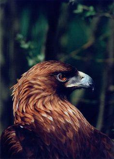Golden Eagle #BirdsofPrey #BirdofPrey #Bird of Prey