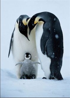 """Emperor penguin family - after watching """"March of the penguins"""" I have great respect for the devoted penguin parents that endure one hardship after the Arctic Animals, Nature Animals, Animals And Pets, Wild Animals, Beautiful Birds, Animals Beautiful, Beautiful Family, Cute Baby Animals, Funny Animals"""