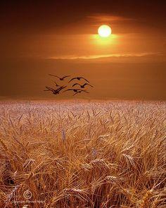Gulls flying over a Golden Wheat Field at Sunset in Michigan Bird Landscape…