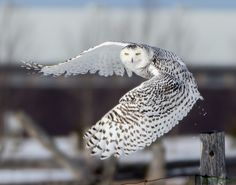Snowy Owl  - Snowy Lift Off
