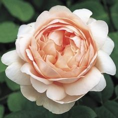 Ambridge Rose English Rose bush has medium sized flowers that are nicely cupped at first, opening to form a loose rosette formation