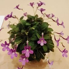 """Sin. Bright Eyes - The Violet Barn - African Violets and More. Microminiature sinningia (1-2"""")"""