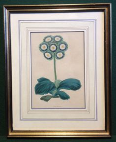 Framed Antique Floral Hand Coloured Botalical Print - Auricula - Pages Waterloo