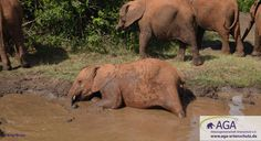 Wenn immer es möglich ist, nutzen die kleinen Elefanten Schlammlöcher für ein ausgiebiges Schlammbad. Aga, Elephant, Animals, Kenya, January, Elephants, Projects, Animales, Animaux