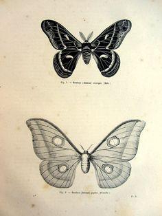 farfalle di falena Atlante 1860 bombyx antica incisione, piastra falena depoca, lepidotera stampa, insetto papillon farfalla illustrazione del