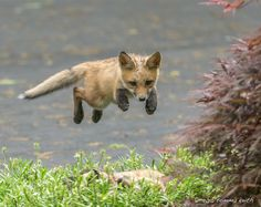 Red Fox Cub by Tommy Keith on 500px                                                                                                                                                                                 More