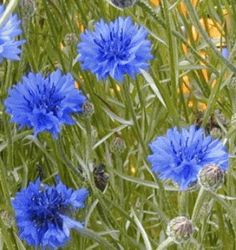 Cornflower Knapweed Germany State National Flower