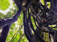 Top Things to do in Monteverde Costa Rica - Fiscus Tree