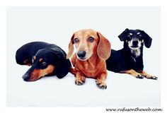 Rufus (middle) is wishing his friend Kaia (left) a very fast and full recovery from her back surgery. Her brother Jake (right) came out of his surgery like a champ last December so... expectations are high. http://wp.me/p27Fw1-ux #dachshund #doxies #IVDD ♥