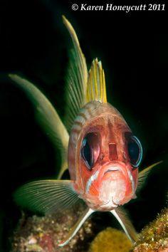 Holocentrus rufus (Longspine Squirrelfish) - Utila, Honduras by Karen Honeycutt… Underwater Creatures, Underwater Life, Ocean Creatures, Honduras, Salt Water Fish, Sea To Shining Sea, Rare Animals, Beautiful Fish, Sea Fish