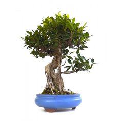 Vente de Bonsai Ficus Retusa 55 cm FR140103, Sankaly Bonsaï, Vente de Bonsaï et Accessoires. Acheter en Ligne