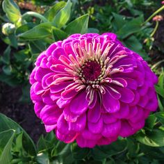 Organic Giant Dahlia Flowered Violet Zinnia Flower