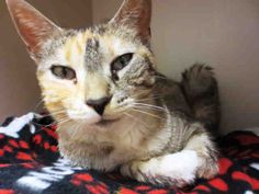 Hey! It's a pleasure to meet you, my name is Alexandria. I am a very sweet and playful cat that is full of life. I am a spayed female, brown tabby and calico Domestic Shorthair and I am about 1 year and 1 month old. (ID#A075700)