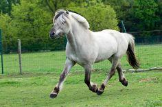 Gra (Grulla) Fjord horse