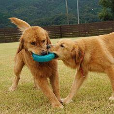 いいね!441件、コメント6件 ― goldenretriever_Cherry&Fuzzyさん(@golden_retriever_cherry)のInstagramアカウント: 「Fuzzy&Lily * #ilovegolden_retrievers #pets_perfection #my_loving_pet #dogs_of_instagram…」
