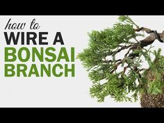 Maintaining A Bonsai - My Basic Suggestions For Spanish, Ontario