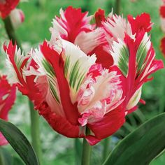 508235 de Jager 24 x Outstanding Parrot Tulip Bulbs QVC Price: £16.50 Surprise Price :£12.96 + P&P: £3.95 24 Outstanding Parrot Tulip Bulbs from de Jager that flower in spring to give colourful petals in white, red, yellow and green. Bring a burst of vibrancy to your outside space with these gorgeous blooms.
