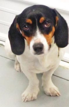 Micah  D151603 is an adoptable Beagle searching for a forever family near Minnetonka, MN. Use Petfinder to find adoptable pets in your area.