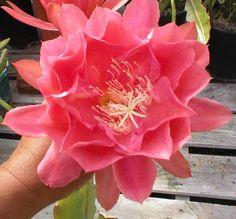 "Don/'s Cuttings A//3 Epiphyllum,Orchid Cactus /"" ANACONDA /"""