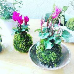 【gem.nakano.yu_co】さんのInstagramをピンしています。 《プレゼントで作ってみました。 蕾いっぱいの苔玉🍀 花ものを入れると豪華に見える。 🌸 #苔玉 #シクラメン #ハイゴケ #苔 #プレゼント#京都 #器 #みどり #つぼみ #green #moss #テラリウム #インテリア  #gemleatherkyoto #followme》