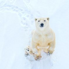 20 polar bear photos that will inspire and amaze you Arctic Tundra Animals, Animals And Pets, Funny Animals, Wild Animals, Polar Bears International, Mother Bears, Bear Photos, The Great Outdoors, Animal Pictures