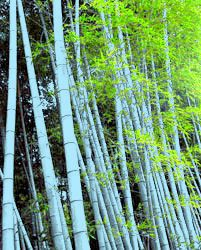 The Blue (Henon) Bamboo is a green bamboo tree that produces a white-bluish powder on the stems.