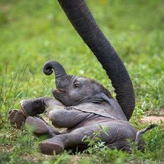 Baby Elephant - Help me up, Mum! Elephants photographed in South Luangwa, Zambia. All About Elephants, Save The Elephants, Baby Elephants, Mundo Animal, My Animal, Cute Baby Animals, Animals And Pets, Wild Animals, Beautiful Creatures