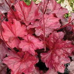 Heuchera 'Fire Chief' - amazing colour - top seller in 2012