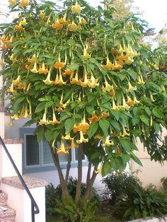 EasyBloom :: Angels' Trumpet - Brugmansia 'Charles Grimaldi' :: Detailed Plant Information