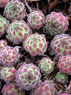 Succulent Bulbs